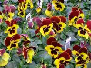 Pansies make for beautiful blossoms in a fall planter.
