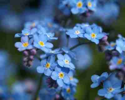 Forget-me-nots are a lovely choice of annuals for moist soil conditions.