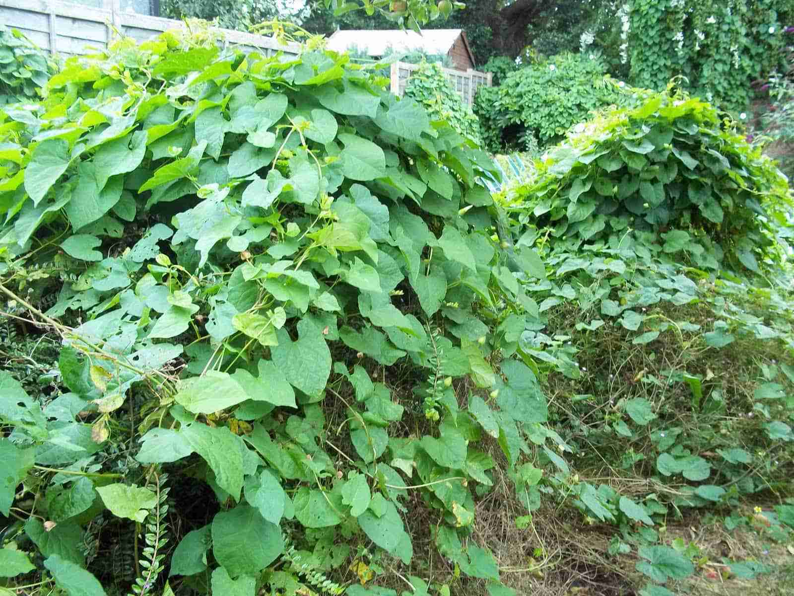 7 common canadian weeds u0026 how to get rid of them aden earthworks