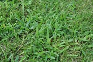 crabgrass3