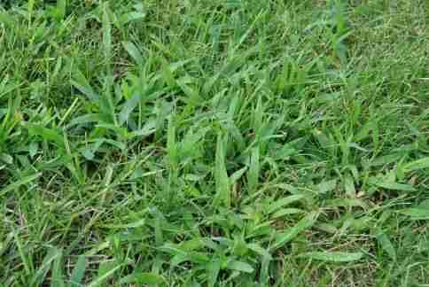 How do you get rid of crabgrass?