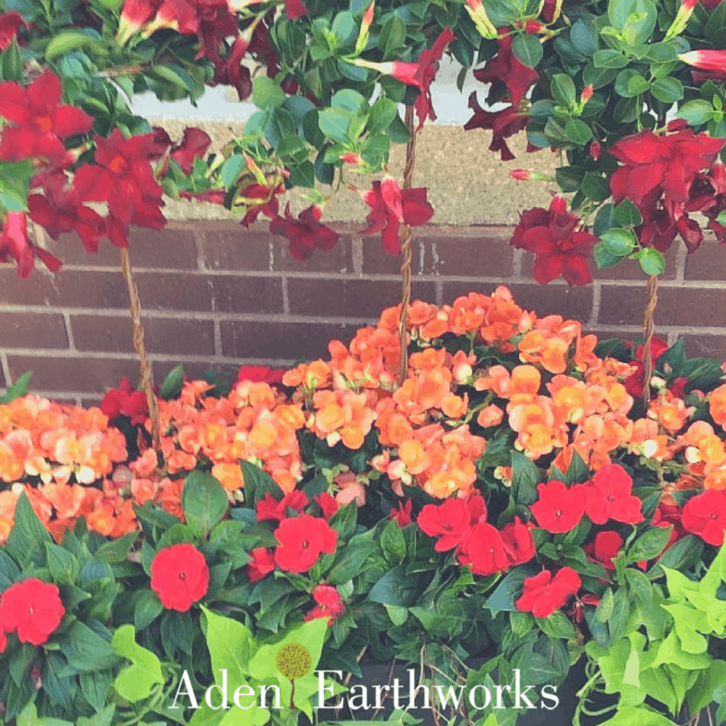 Beautiful summer colours in a planter featuring tuberous orange begonias, red million bells, lime potato vine, trailing ivy and red Mandavilles.