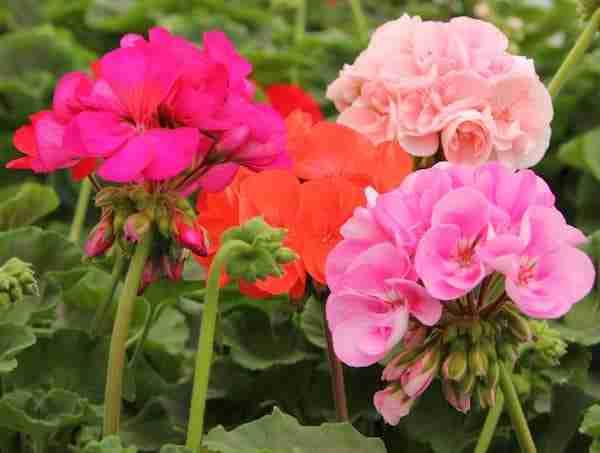 geraniumrockies