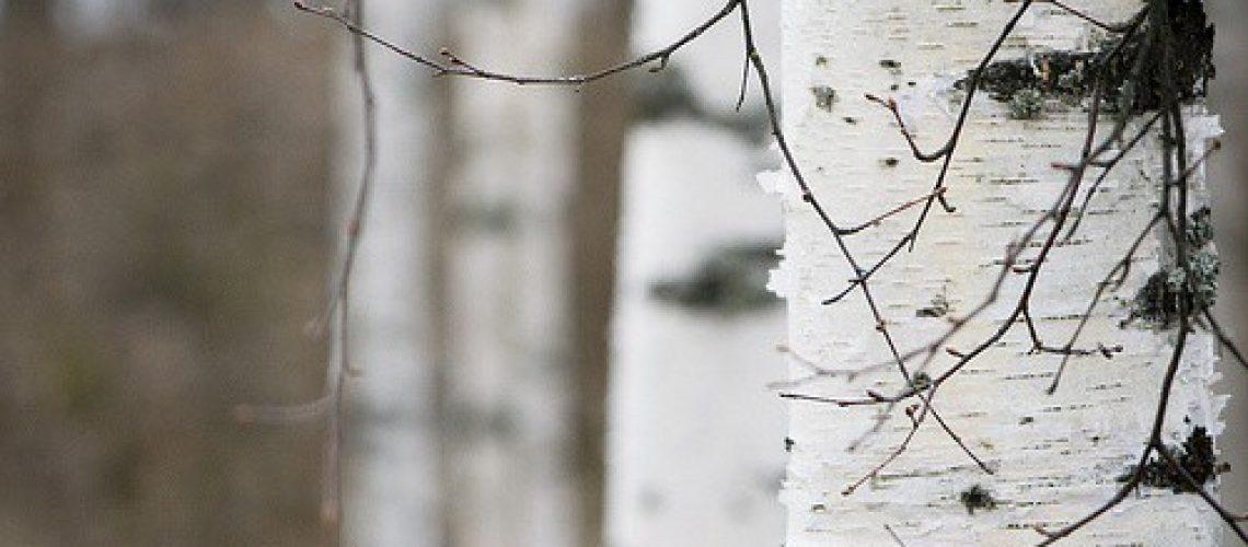 Birch-tree-1-tumblr